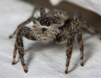 Jumping Spider Index