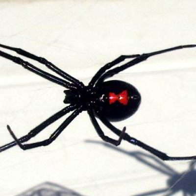 black widow spider's underside
