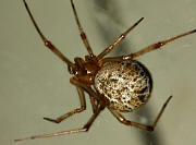 Common House Spider