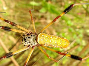 Golden Silk Orbweaver Spider