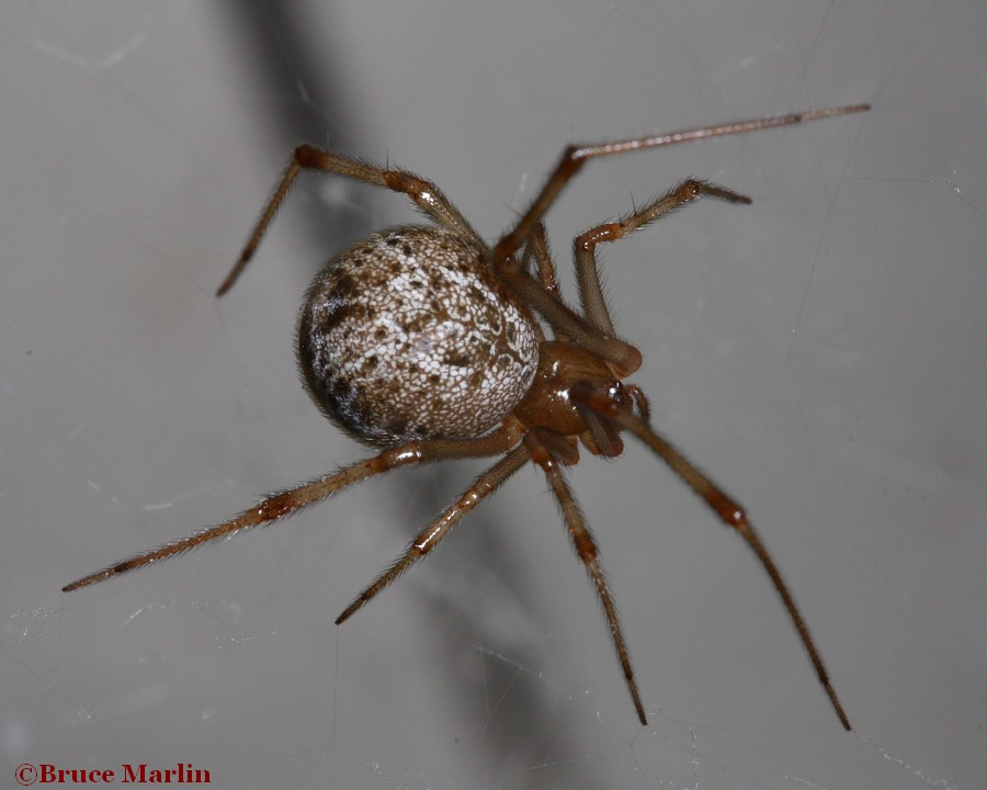House cobweb spider