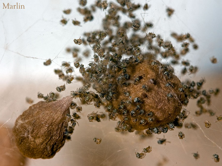 House spider Hatchlings