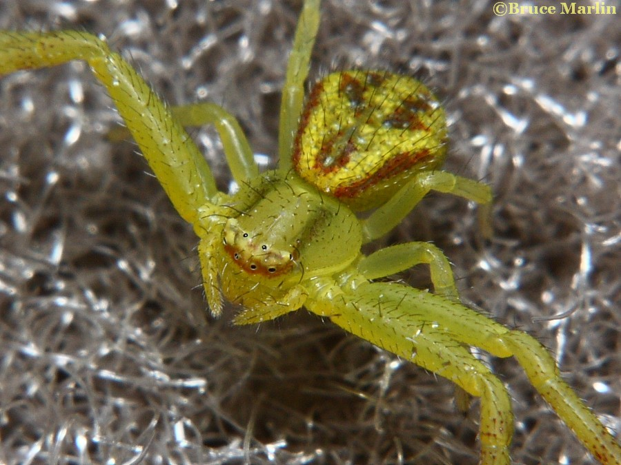 Northern Crab Spider