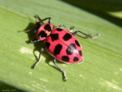 Pink spotted ladybird