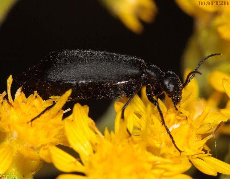 Black Blister Beetle Lateral