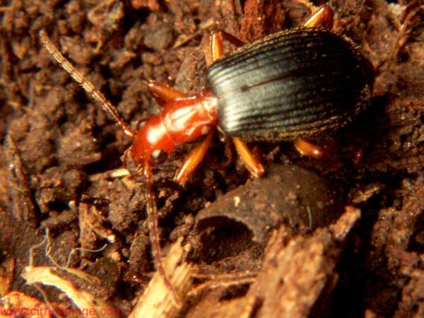 Bombardier beetle defense - photo#11