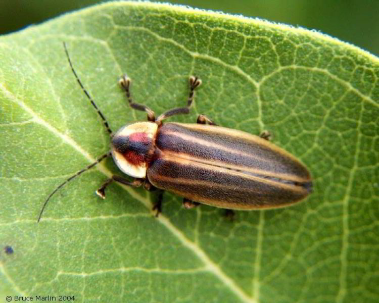 Firefly Photinus pyralis