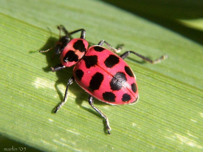 Pink-spotted Lady Beetle