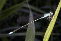Stream Bluet, Enallagma exsulans