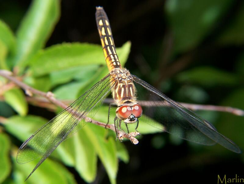 Blue Dasher's huge compund eyes are red in the female, green in the male.