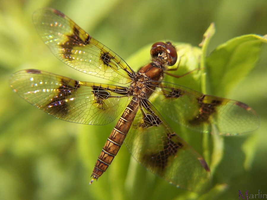 Eastern Amberwing Dragonfly - Perithemis tenera