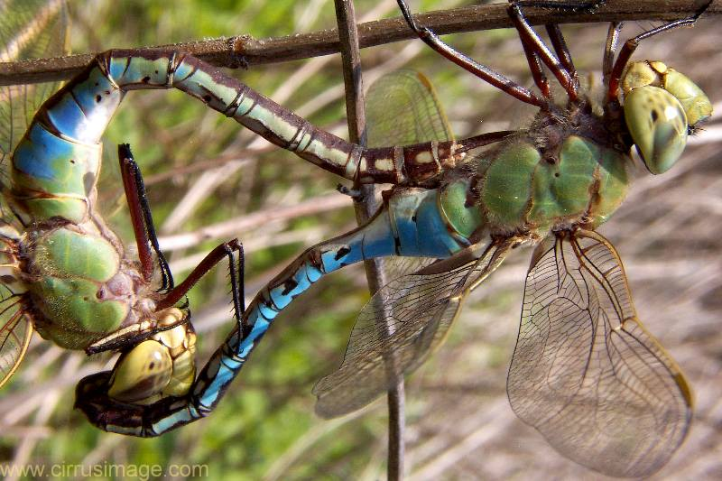 Green Darner Mating Wheel,  Anax junius