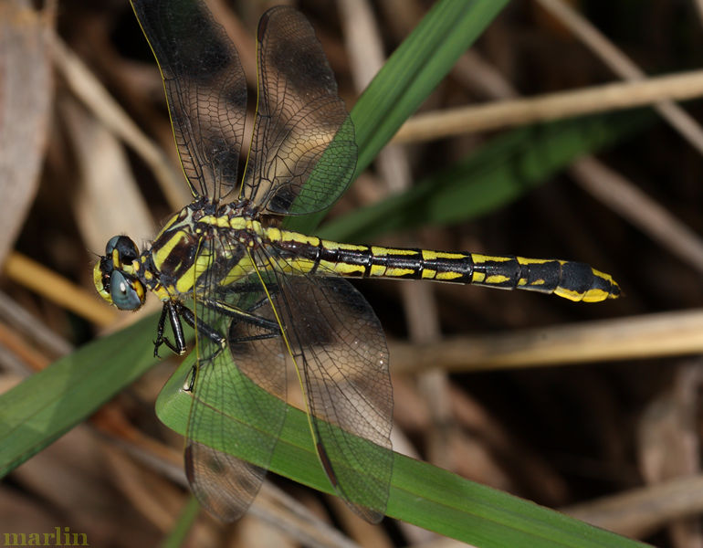 Midland Clubtail Dragonfly Female
