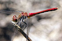 Ruby Meadowhawk Dragonfly