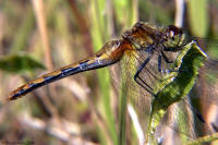 White Faced Meadowhawk Female