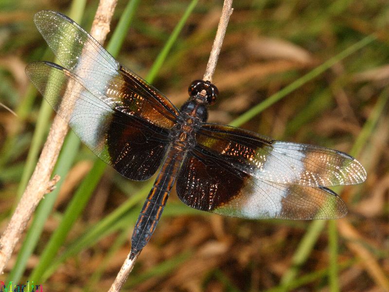 Widow Skimmer Dragonfly - Libellula luctuosa