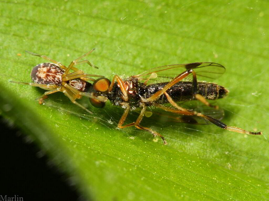 Dictynid Spider & soldier fly prey