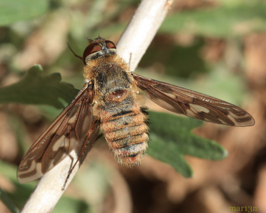 Bee Fly - Poecilanthrax willistonii