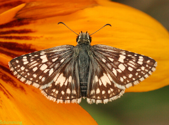 Checkered Skipper