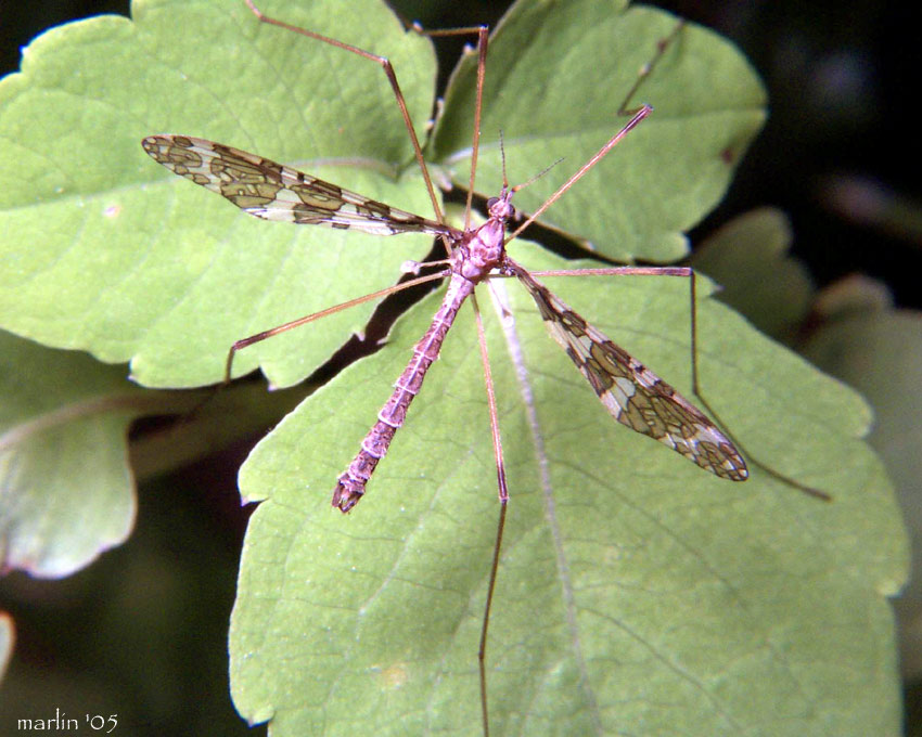 Crane Fly - Epiphragma fasciapenne