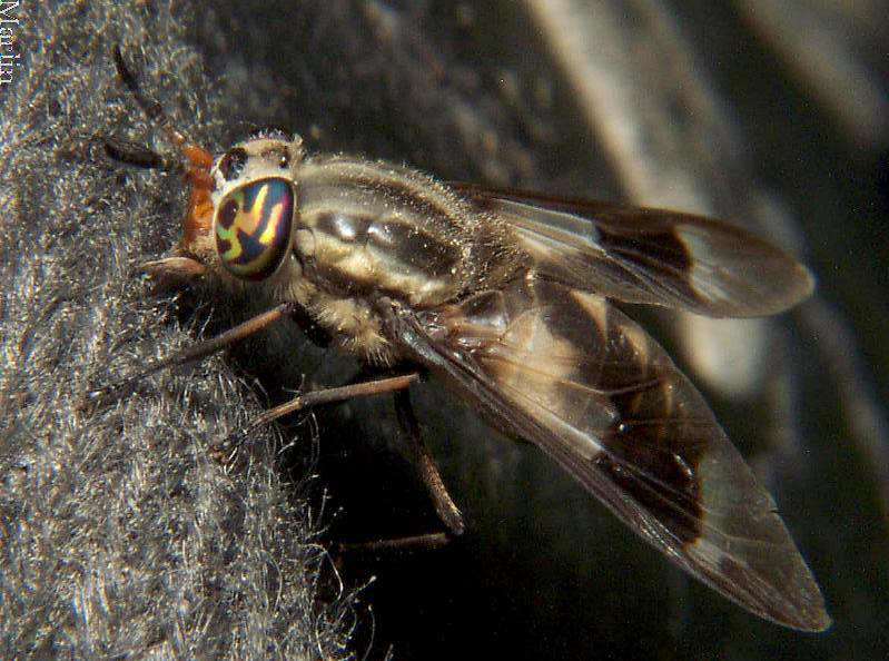 Deer Fly - Chrysops callidus