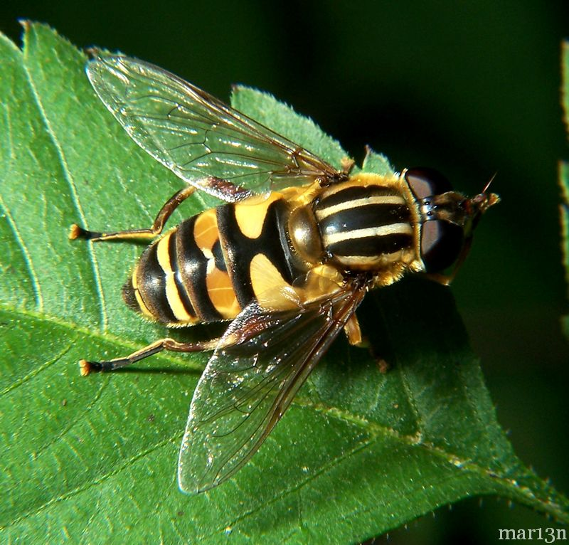 Syrphid Fly - Helophilus sp.