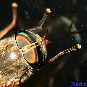 Horse fly faceted eye structure
