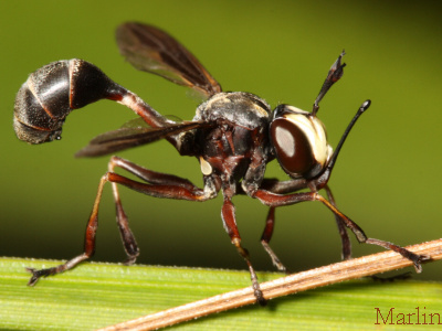 Family Conopidae - Thick-Headed Flies