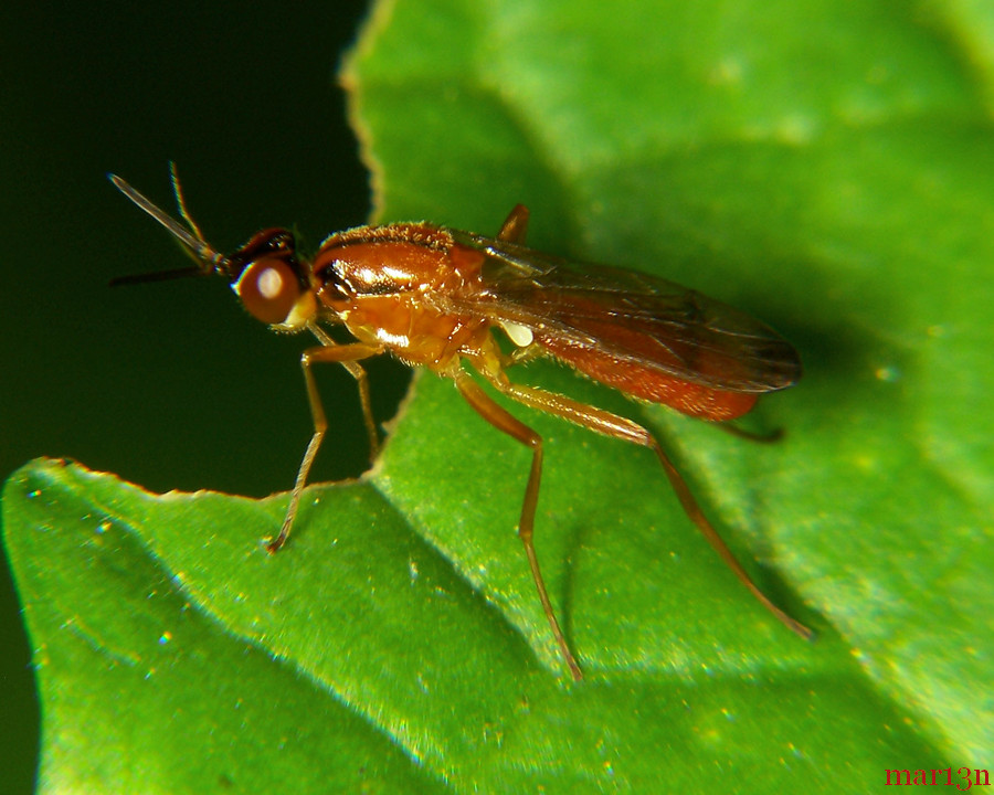 Rust Fly - Loxocera cylindrica