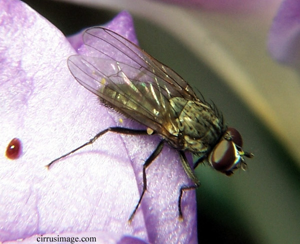 Adult male root maggot fly on crocus flower