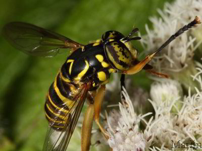Family Syrphidae