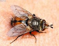 Tachinid Fly - Peleteria sp.