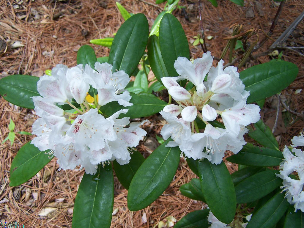Peter Tigerstedt Rhododendron