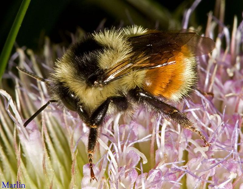Tricolored Bumble Bee,  Bombus ternarius