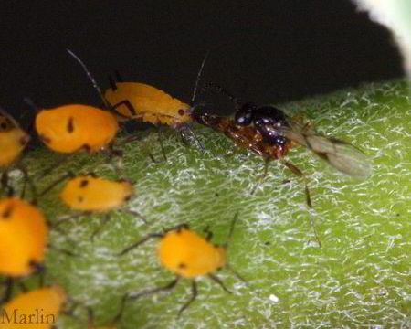 wasp lays egg on aphid's face