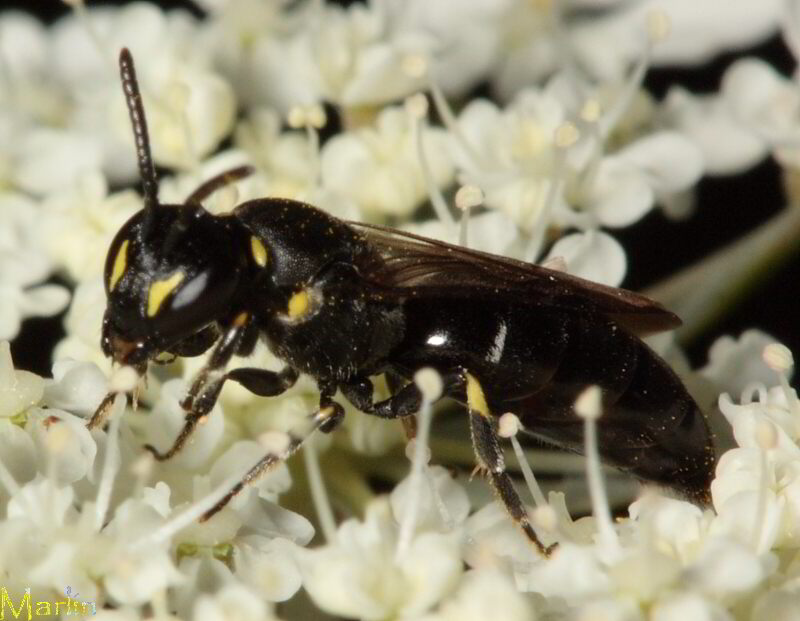 Yellow-masked Bee