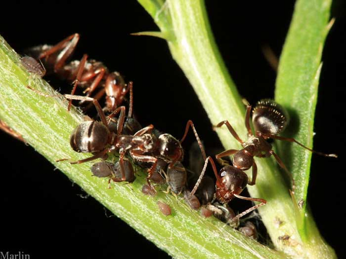 ants tend an aphid farm