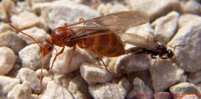 False Honey Ants - Prenolepis imparis