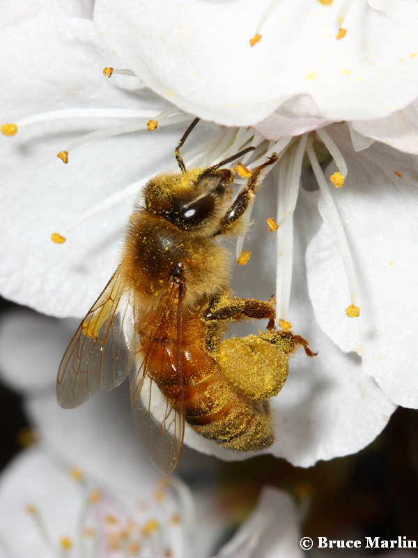 honey bee on apricot blossoms