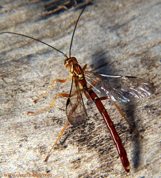 Male Giant Ichneumon Wasp