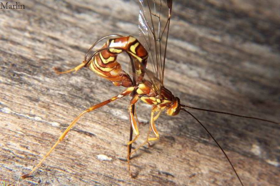 Giant Ichneumon Egg-Laying
