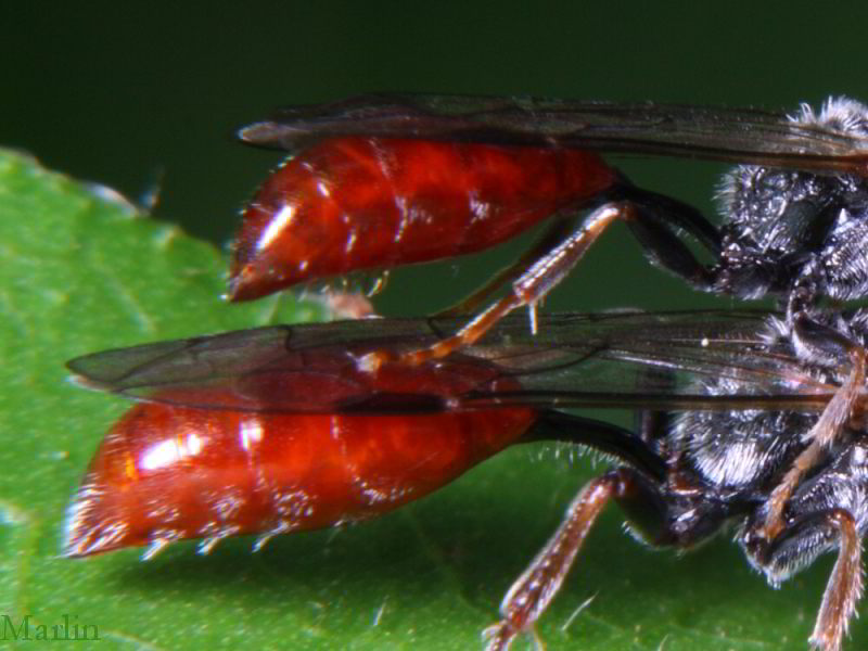 Aphid Wasps petiole and abdomen detail