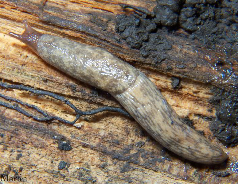 Adult Gray Garden Slug