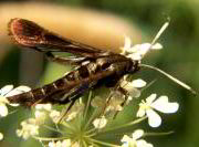 Virginia Creeper Clearwing