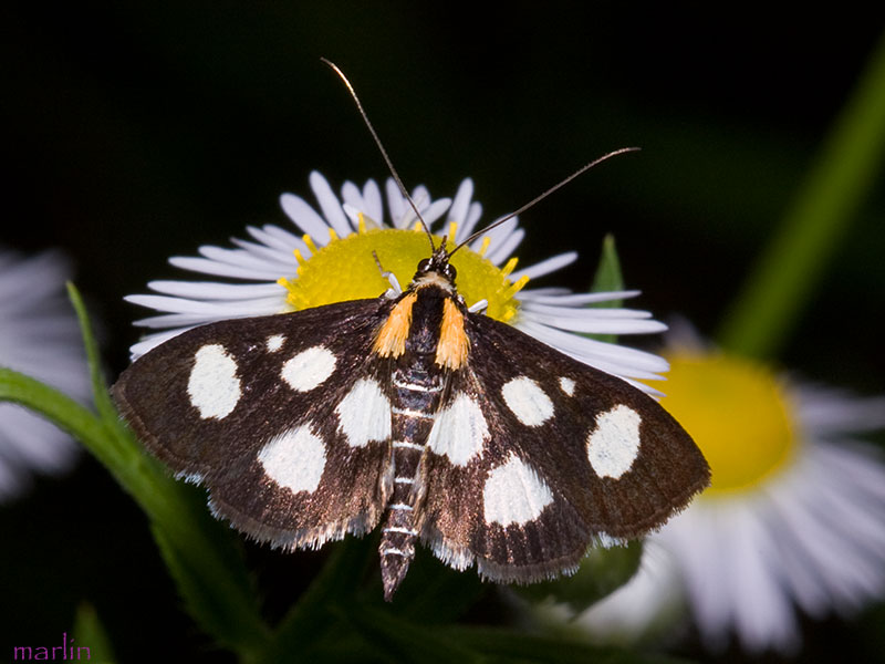 White-spotted Sable Moth - Anania funebris