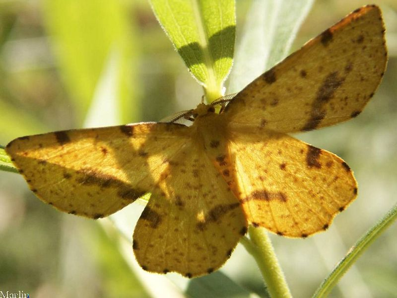 False Crocus Geometer Moth
