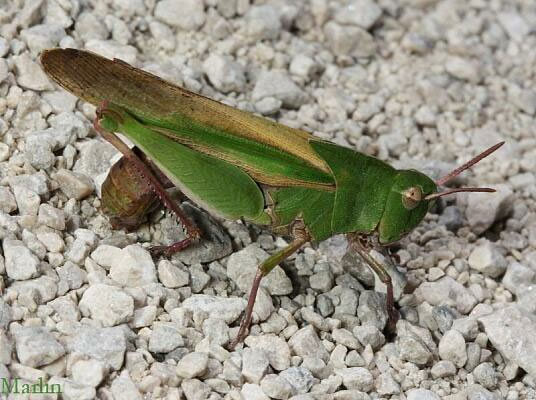 Northern Green-striped Grasshopper - Chortophaga viridifasciata