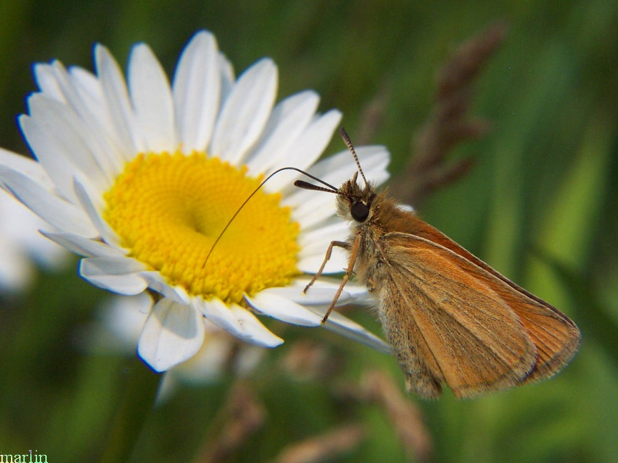Least Skipper Butterfly - Ancyloxypha numitor