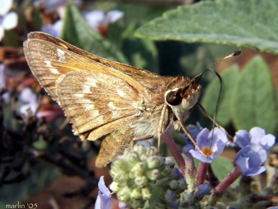 Sachem Skipper nectaring on butterfly weed