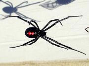 Black Widow Spider - Latrodectus mactans